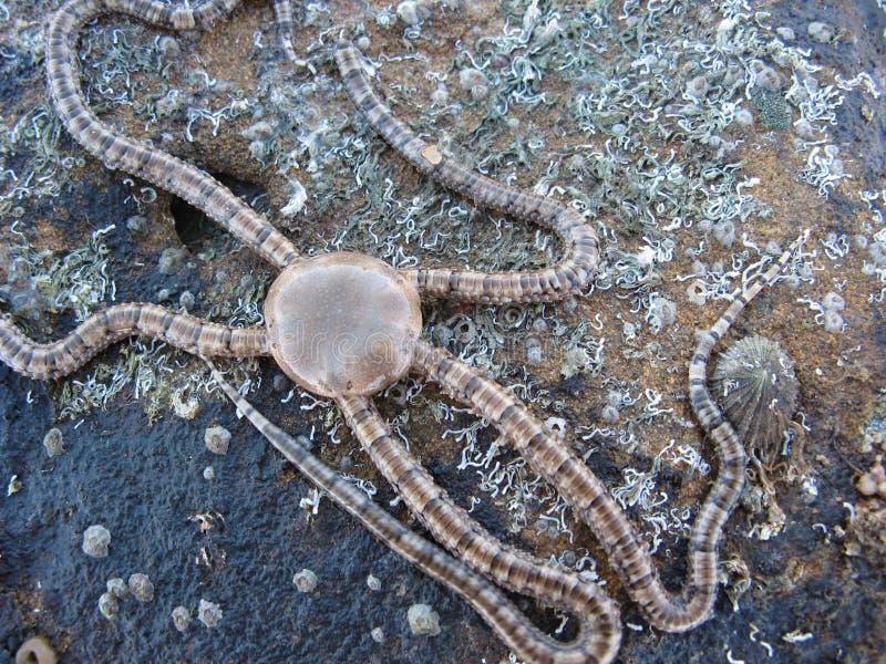 易碎的seastar星形海星 免版税图库摄影