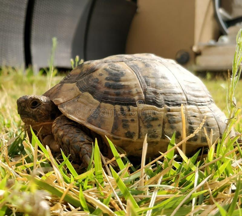 星期日乌龟 库存图片
