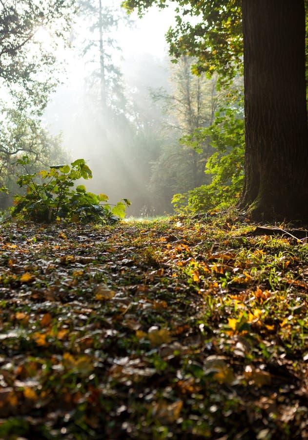 星期日的光芒在秋天森林里。 免版税库存照片