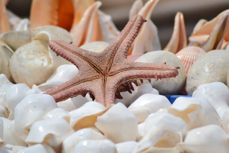 星鱼和壳 库存照片
