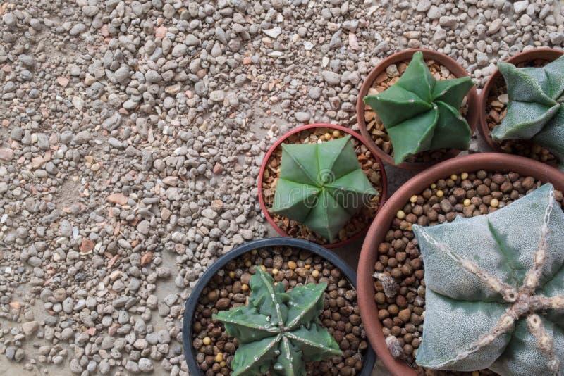 星仙人掌Astrophytum种类 库存照片