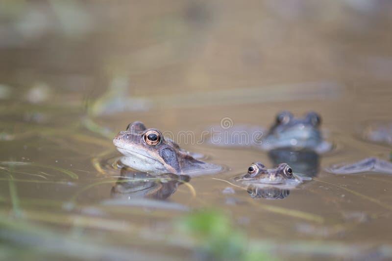 春初交配时蛙、欧蟾、蛙、蟾蜍、蟾蜍 库存照片