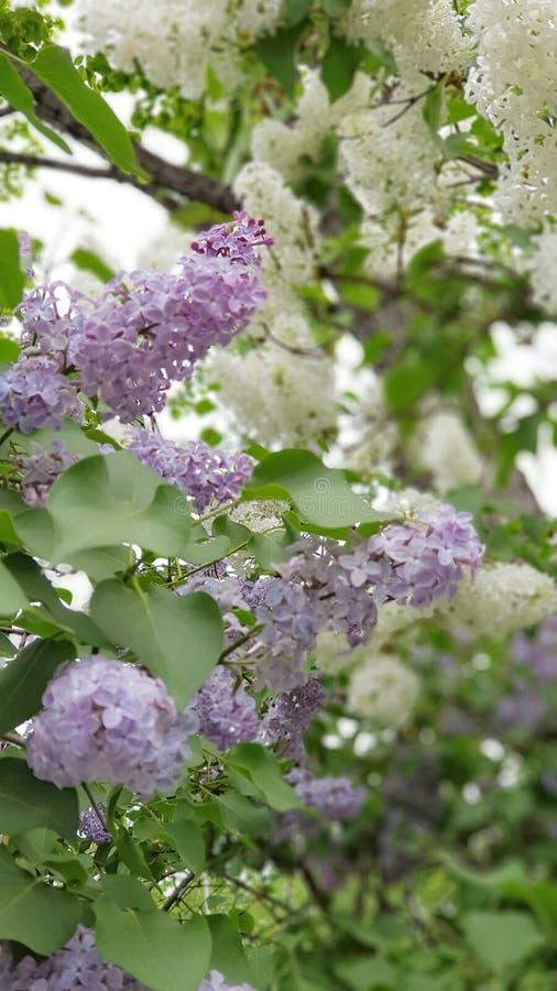 春天…上升了叶子,自然本底 丁香 免版税库存图片