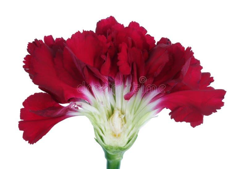 春天一个红色康乃馨花被隔绝的宏指令的复活节芽的内在被削减的横断面 免版税图库摄影
