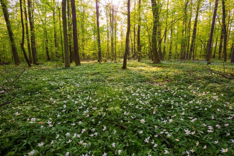 春天与开花的白色银莲花属的森林风景 图库摄影