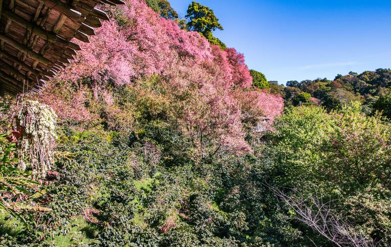 春天与桃红色佐仓开花的边界或背景艺术 美丽的自然春天花 免版税图库摄影