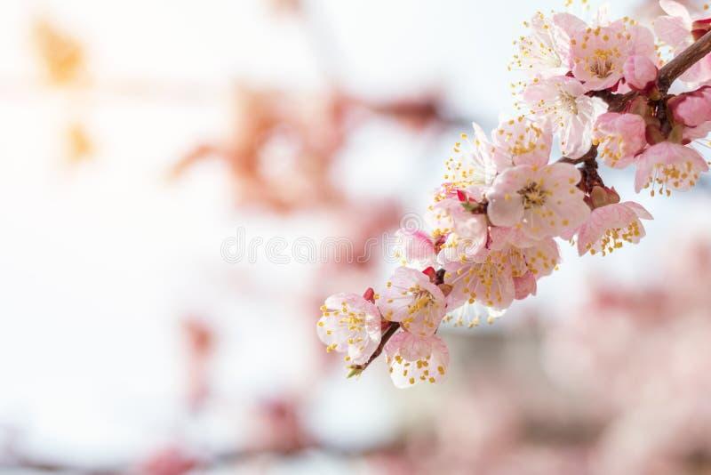 春天与桃红色开花的背景艺术 免版税库存照片