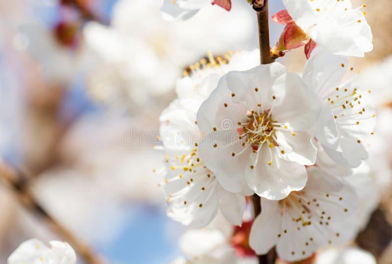 春天与桃红色开花的边界或背景艺术 与开花的树的美好的自然场面和太阳飘动 晴朗的复活节 免版税库存图片