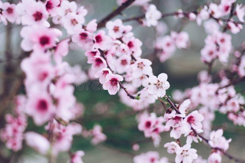 春天与桃红色开花的边界或背景艺术 与开花的树的美好的自然场面和太阳飘动 上色日复活节全球rgb晴朗 库存照片