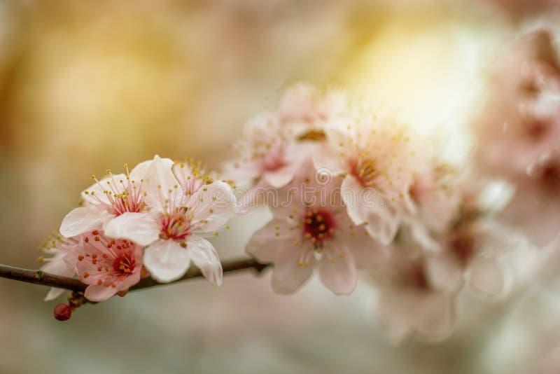 春天与桃红色开花的边界或背景艺术 免版税图库摄影