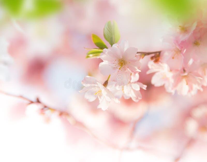 春天与桃红色开花的边界背景 图库摄影
