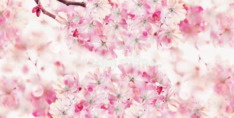 春天与樱桃树桃红色开花的自然背景  春天自然 佐仓开花 横幅或模板 免版税库存照片