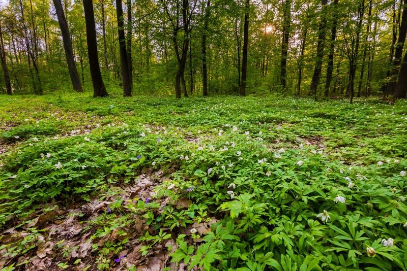 春天与白色银莲花属开花的森林风景 库存照片