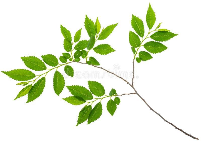春天与被隔绝的绿色叶子的枝杈榆木 免版税库存照片