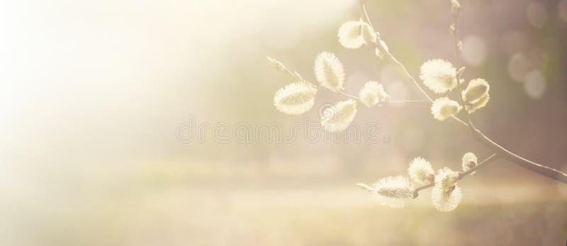 春天与褪色柳分支的自然背景 库存照片
