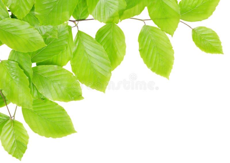春天与绿色叶子的山毛榉分支 免版税库存图片
