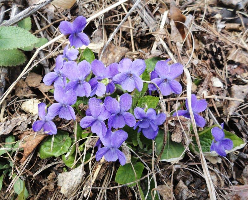 春天中提琴花 库存图片