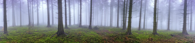 春天云杉的森林 免版税库存图片