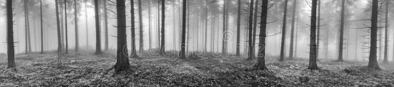 春天云杉的森林 图库摄影