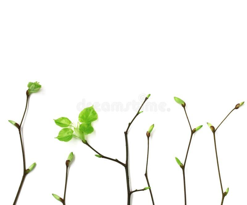 年轻春天分支与在白色背景的叶子 免版税库存图片