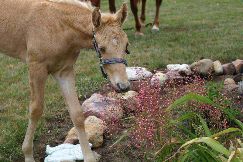 春天发芽吃从花床的马驹花 免版税库存照片