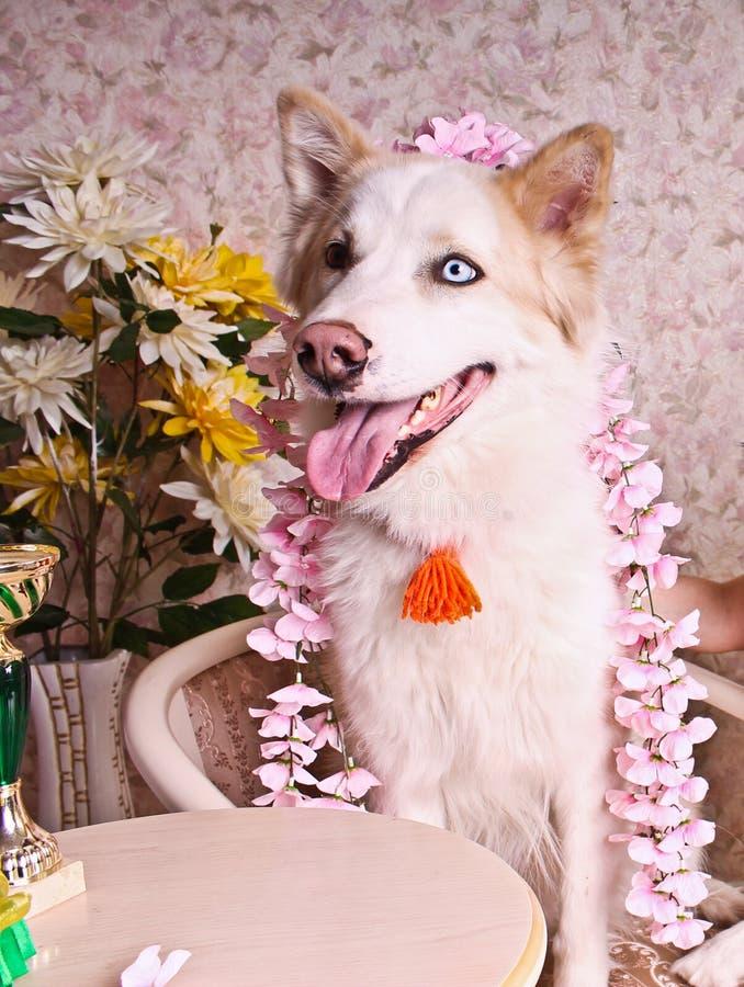 春天和精美爱斯基摩狗 免版税图库摄影