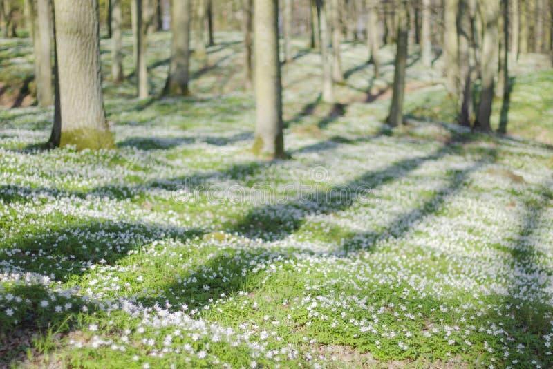 春天和银莲花属花的森林 免版税图库摄影