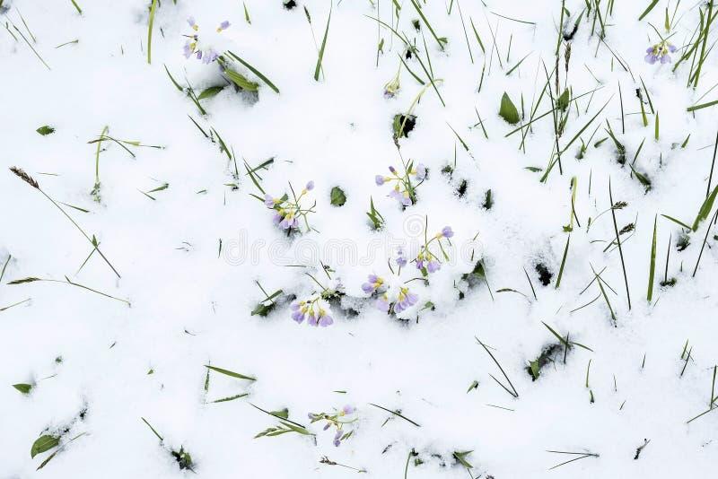 春天和雪 库存图片