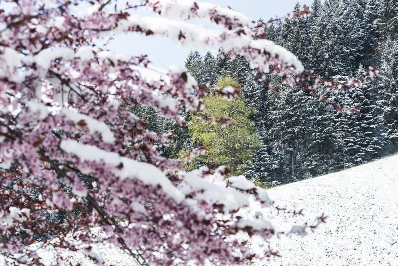 春天和雪 免版税库存照片