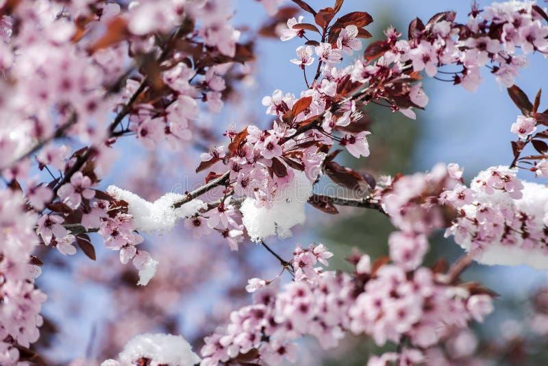 春天和雪 库存照片