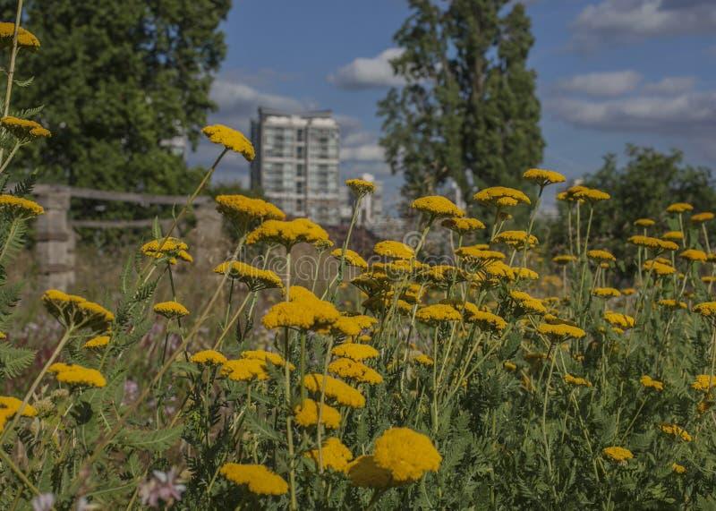 春天在伦敦;庭院、公园和街道-黄色花和高楼 库存图片