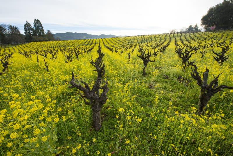 春天在加利福尼亚有机葡萄葡萄园里 免版税库存图片
