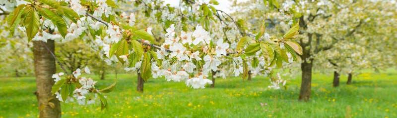 春天在庭院里 在盛开的樱桃树 图库摄影