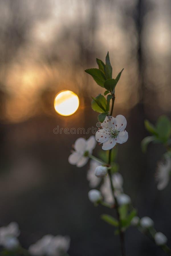 春天在日落的树花 免版税库存照片