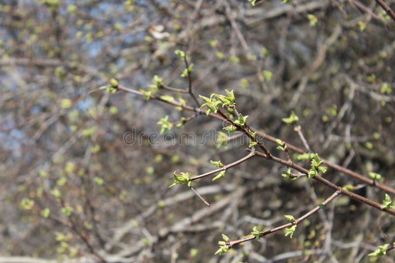 春天在树来了,春天心情,第一离开 新叶子 库存图片