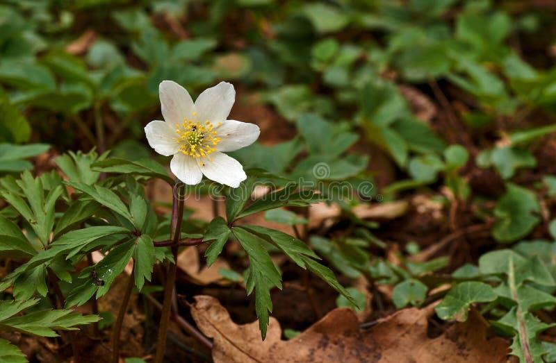 春天在森林-五叶银莲花,白头翁,鹅掌草,气味狐狸银莲花属nemorosa里开花 库存照片