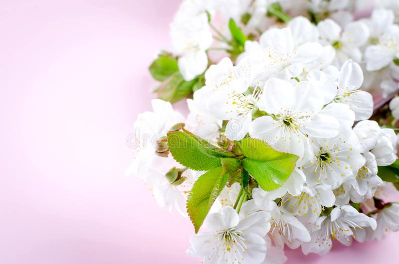 春天在浅粉红色的背景的樱桃花 免版税库存图片