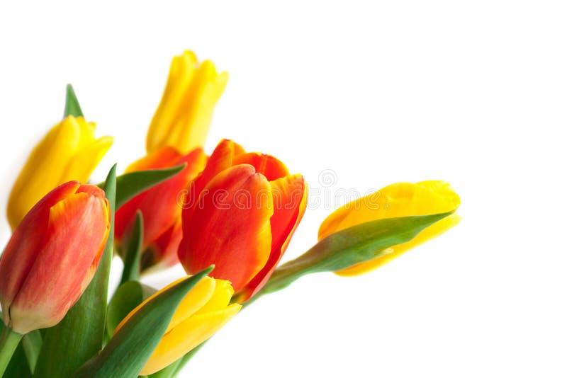 春天在白色的郁金香花 郁金香束 花卉边界Des 库存图片