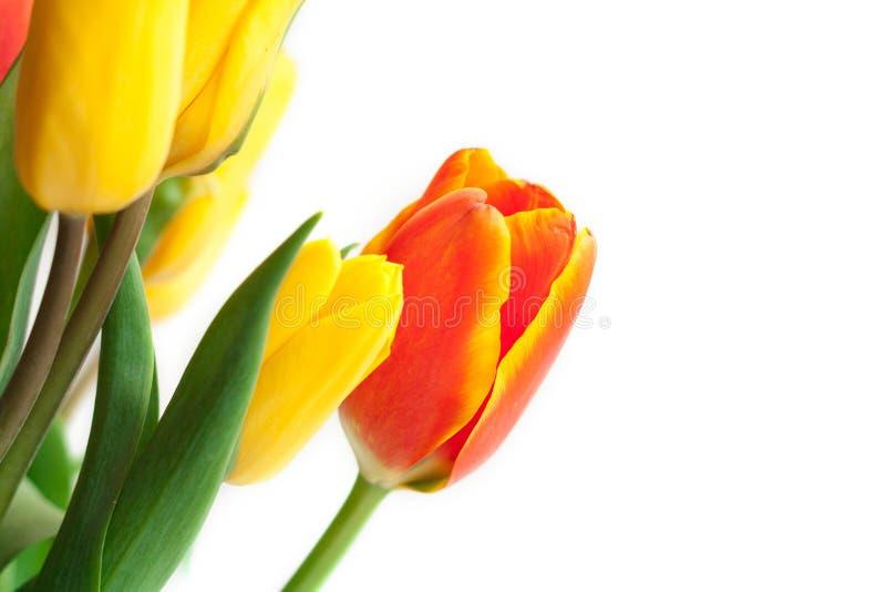 春天在白色的郁金香花 郁金香束 花卉边界Des 免版税库存照片