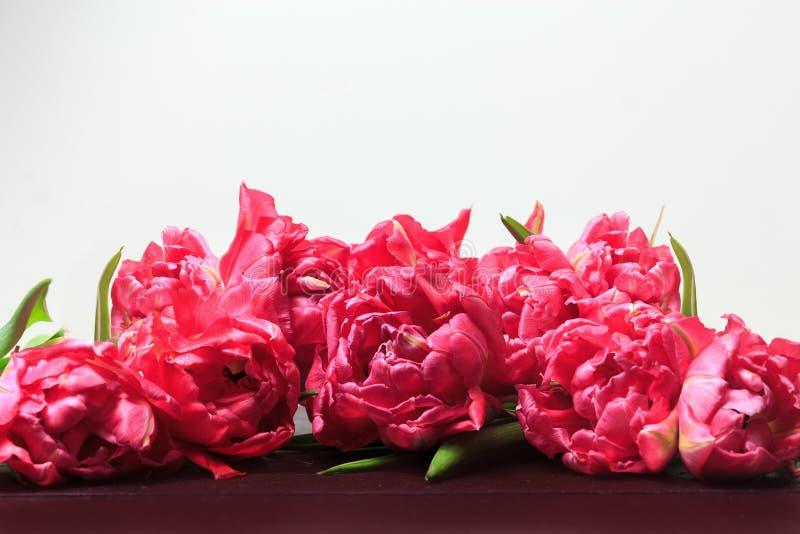 春天在白色背景的桃红色郁金香 宽全景花卉边界 免版税库存图片