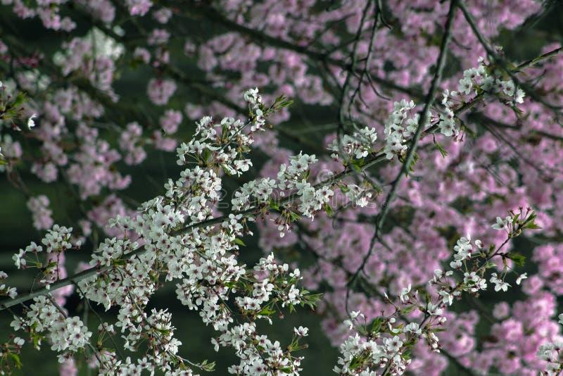 春天在索非亚 以桃红色为背景的白色进展的分支一个 库存图片
