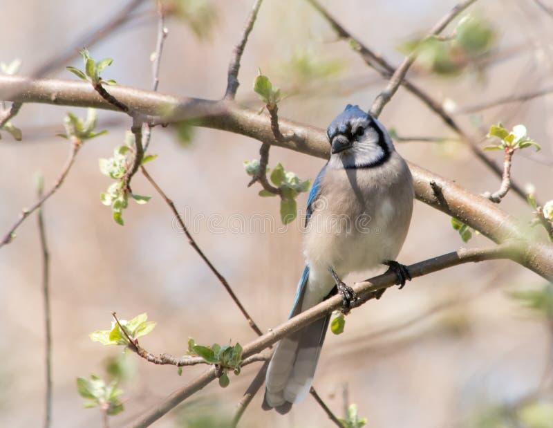 春天在苹果树上摆姿势的蓝杰 库存图片