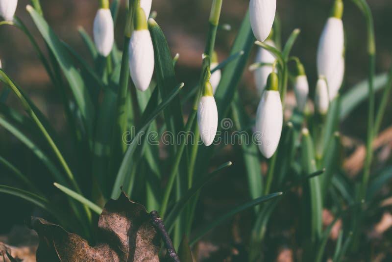 春天在这里与snowdrops 免版税库存照片