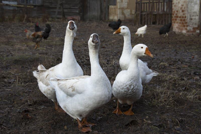 春天在那里围场是四只白色鹅 库存图片