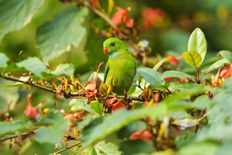 春天垂悬的长尾小鹦鹉,Loriculus vernalis,达恩德利,卡纳塔克邦,印度 免版税库存照片
