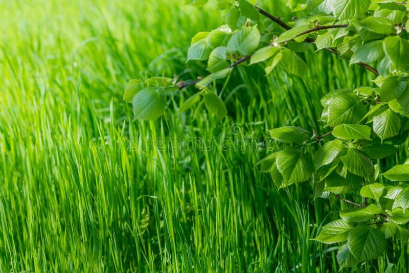 春天墙纸 特写镜头绿草和新鲜的叶子看法在一个分支在阳光 与拷贝空间的背景 生态和n 库存图片