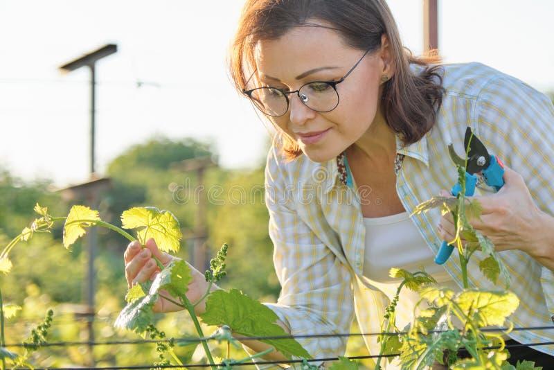 春天夏天庭院工作在葡萄园里 成熟妇女与有葡萄灌木的pruner剪刀一起使用 图库摄影
