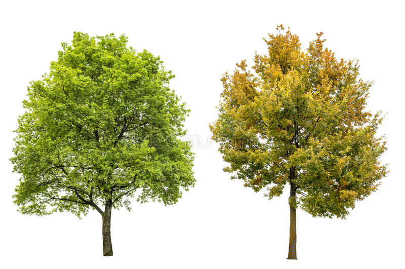 春天夏天秋天橡树隔绝了白色背景 免版税库存图片