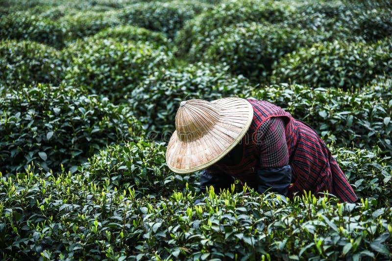 春天女性用途手手指的每年在最佳的产品和自然选择的一个茶园采摘绿色茶叶, 免版税库存照片