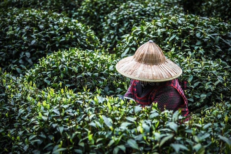 春天女性用途手手指的每年在最佳的产品和自然选择的一个茶园采摘绿色茶叶, 免版税库存图片